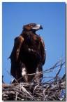wedge-tailed-eagle-rf-186-copy
