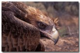 wedge-tailed-eagle-sv-864-copy