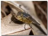 western-golden-haired-blowfly-lle-384-copy
