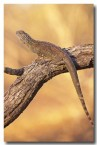 western-netted-dragon-fx-564-copy