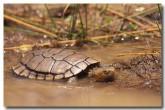 western-swamp-tortoise-ke-818-copy