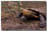 western-swamp-tortoise-zf-302-copy