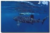 whale-shark-vs-097-copy