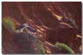 white-breasted-sea-eagle-zf-916-copy