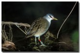 white-browed-crake-xa-159-copy