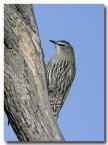 white-browed-treecreeper-cad-398