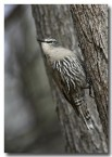 white-browed-treecreeper-cad-400