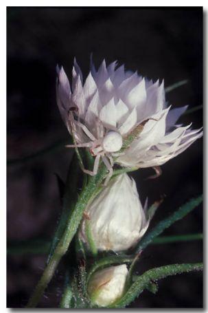 White Flower Spider