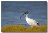 white-ibis-llg-311-web-copy
