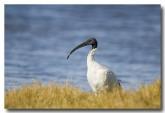 white-ibis-llg-870-web-copy