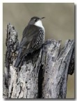 white-throated-treecreeper-cad-399
