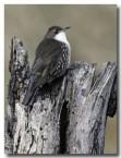 white-throated-treecreeper-cad-399