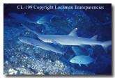 white-tip-shark-cl-199-copy