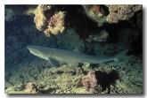 whitetip-reef-shark-ef-488-copy