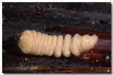 witchety-grub-pa-566-copy