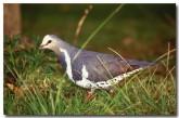 wonga-pigeon-rw-601-copy