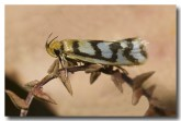 wool-moth-tineidae-llf-507-web-copy