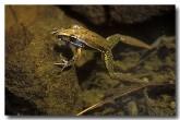 wotjulum-frog-le-461