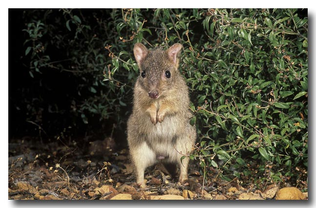 Woylie Wallpapers BETTONG BRUSH TAILED image