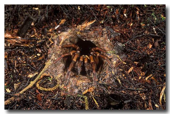 (XG-615) Trapdoor spider