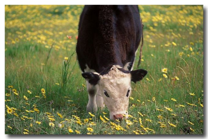 (XH-901) Cattle on pasture