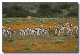 antidorcas-marsupialis-springbok-llj-652-web