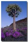 asphodelaceae-aloe-dichotoma-brandkop-llj-618-web