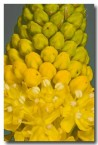 asphodelaceae-bulbinella-elegans-nieuwoudtville-abd-936-web