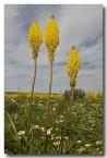 asphodelaceae-bulbinella-elegans-nieuwoudtville-llj-607-web