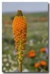 asphodelaceae-bulbinella-latifolia-var-doleritica-nieuwoudtville-abd-938-web