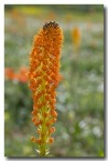 asphodelaceae-bulbinella-latifolia-var-doleritica-nieuwoudtville-abd-939-web