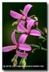boronia-sp-aj-087-copy