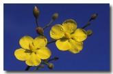 leafless-hibbertia-hibbertia-conspicua-aj-297-copy