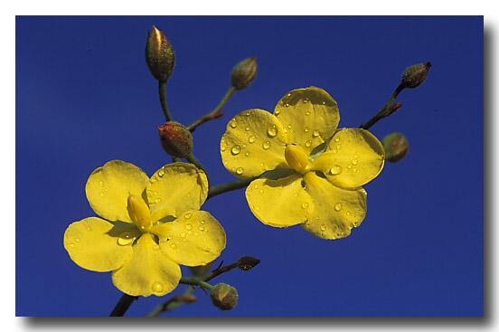 Leafless Hibbertia