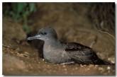 muttonbird-yf-554-copy