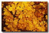 orange-stars-hibbertia-stellaris-lf-218-copy