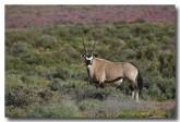 oryx-gazella-gemsbok-llj-665-web-copy
