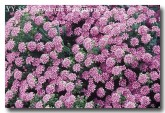 pimelea-ferruginea-yy-853-copy