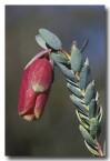 pimelea-physodes-qualup-bell-kb-769-copy