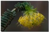 pimelea-suaveolens-scented-banjine-se-020-copy