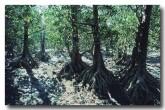 rhizophoraceae-ceriops-tagal-yellow-leaved-spurred-mangrove-kk-529-copy