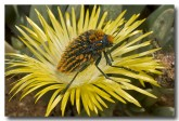 sa-buprestidae-julodis-sp-llj-231webs-copy