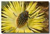 sa-buprestidae-julodis-sp-llj-232-web-copy