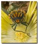 sa-buprestidae-julodis-sp-llj-233-web-copy