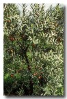 sandlewood-xn-493-copy