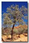 santalum-spicatum-sandalwood-pm-226-copy
