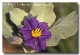solanum-lasiophyllum-ai-452-copy