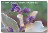 solanum-lasiophyllum-ft-344-copy