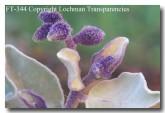 solanum-lasiophyllum-ft-344-copy