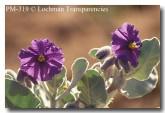 solanum-lasiophyllum-pm-319-copy